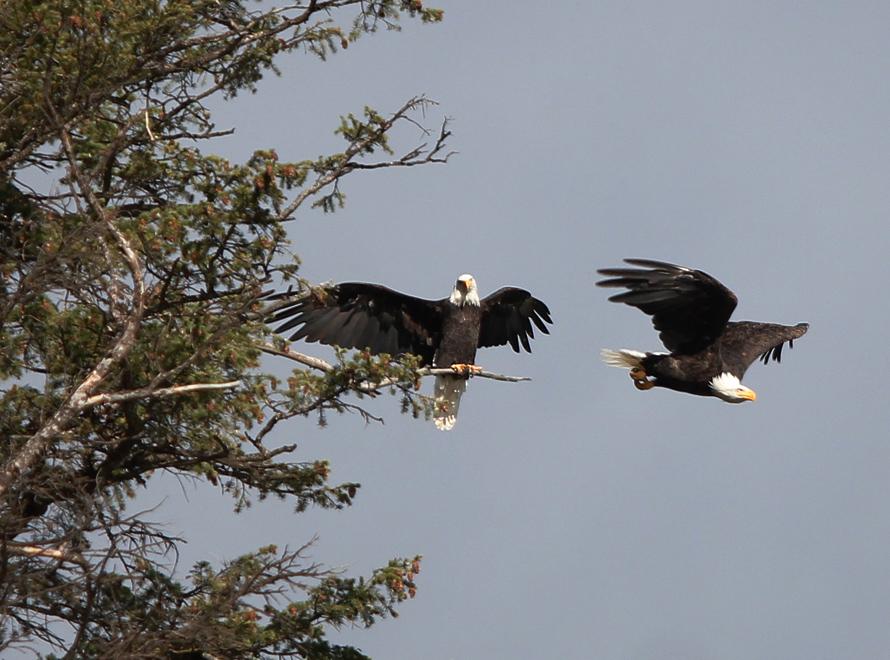 bald eagle takes off